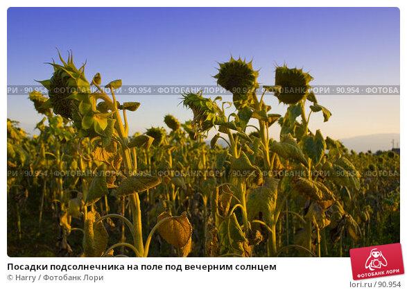 Посадки подсолнечника на поле под вечерним солнцем, фото № 90954, снято 17 августа 2007 г. (c) Harry / Фотобанк Лори