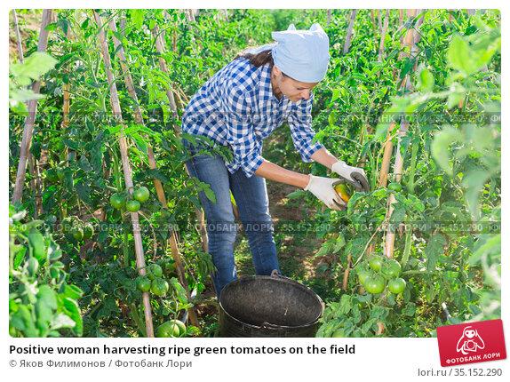 Positive woman harvesting ripe green tomatoes on the field. Стоковое фото, фотограф Яков Филимонов / Фотобанк Лори