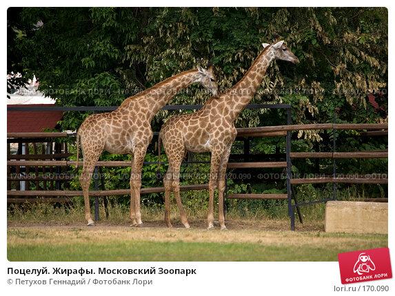 Поцелуй. Жирафы. Московский Зоопарк, фото № 170090, снято 24 июня 2007 г. (c) Петухов Геннадий / Фотобанк Лори
