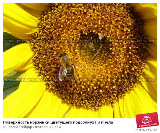 Купить «Поверхность корзинки цветущего подсолнуха и пчела», фото № 19166, снято 18 июля 2006 г. (c) Сергей Ксейдор / Фотобанк Лори