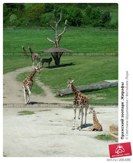 Пражский зоопарк .Жирафы, фото № 200698, снято 9 мая 2006 г. (c) Светлана Шушпанова / Фотобанк Лори