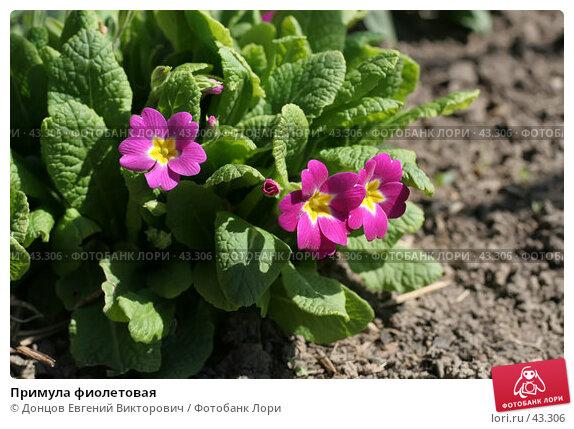 Примула фиолетовая, фото № 43306, снято 6 мая 2007 г. (c) Донцов Евгений Викторович / Фотобанк Лори