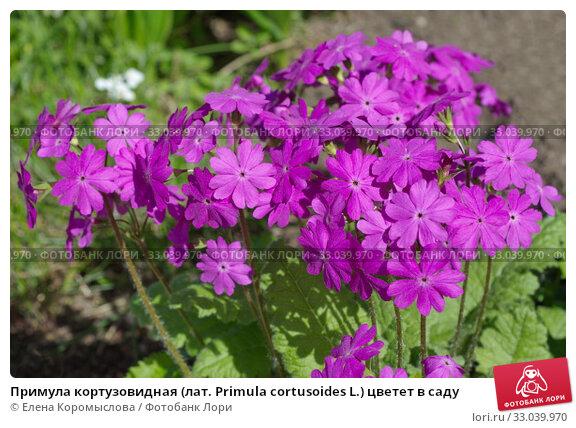 Купить «Примула кортузовидная (лат. Рrimula cortusoides L.) цветет в саду», фото № 33039970, снято 17 мая 2019 г. (c) Елена Коромыслова / Фотобанк Лори