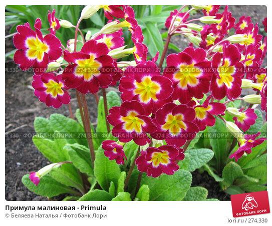 Примула малиновая - Primula, фото № 274330, снято 26 мая 2007 г. (c) Беляева Наталья / Фотобанк Лори
