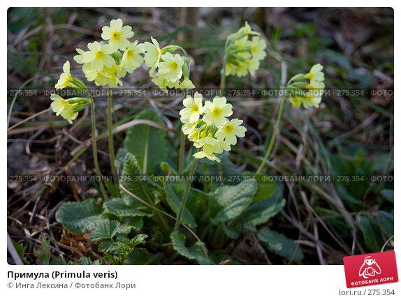 Примула (Primula veris), фото № 275354, снято 3 мая 2008 г. (c) Инга Лексина / Фотобанк Лори