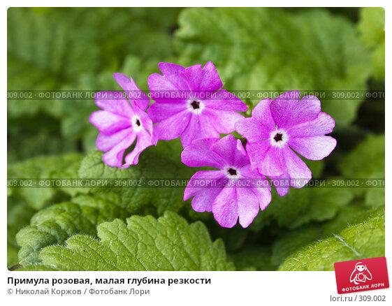Примула розовая, малая глубина резкости, фото № 309002, снято 31 мая 2008 г. (c) Николай Коржов / Фотобанк Лори