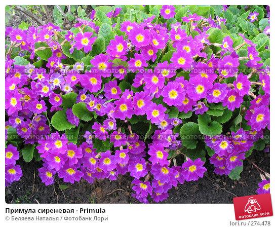 Купить «Примула сиреневая - Primula», фото № 274478, снято 31 мая 2006 г. (c) Беляева Наталья / Фотобанк Лори