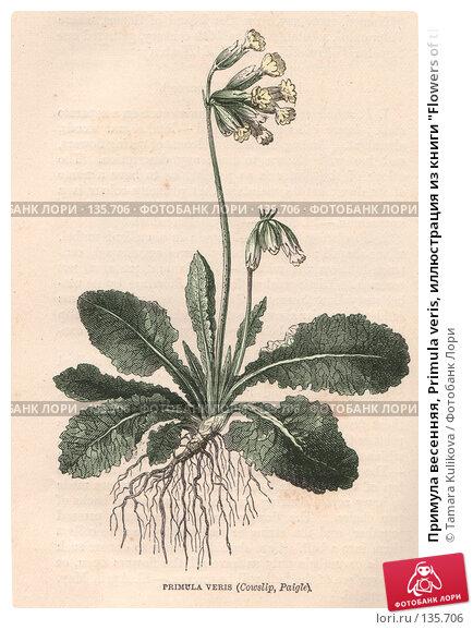 """Примула весенняя, Primula veris, иллюстрация из книги """"Flowers of the field"""", издано в Лондоне в 1888, ручная раскраска, иллюстрация № 135706 (c) Tamara Kulikova / Фотобанк Лори"""