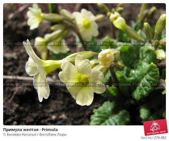 Примула желтая - Primula, фото № 274482, снято 12 мая 2007 г. (c) Беляева Наталья / Фотобанк Лори