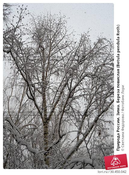 Природа России. Зима. Береза повислая (Betula pendula Roth) Стоковое фото, фотограф Светлана Федорова / Фотобанк Лори