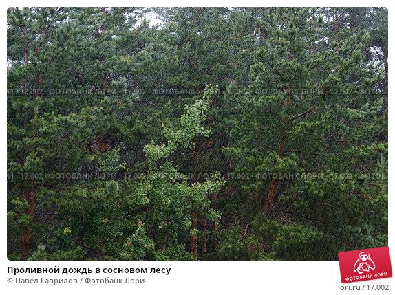 Проливной дождь в сосновом лесу, фото № 17002, снято 19 июля 2006 г. (c) Павел Гаврилов / Фотобанк Лори