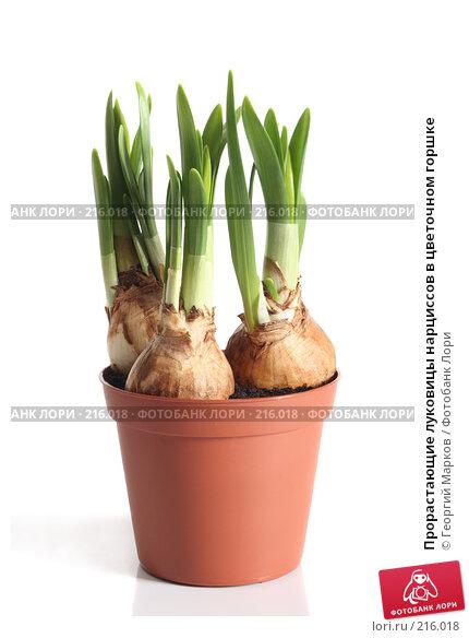Прорастающие луковицы нарциссов в цветочном горшке, фото № 216018, снято 25 февраля 2008 г. (c) Георгий Марков / Фотобанк Лори
