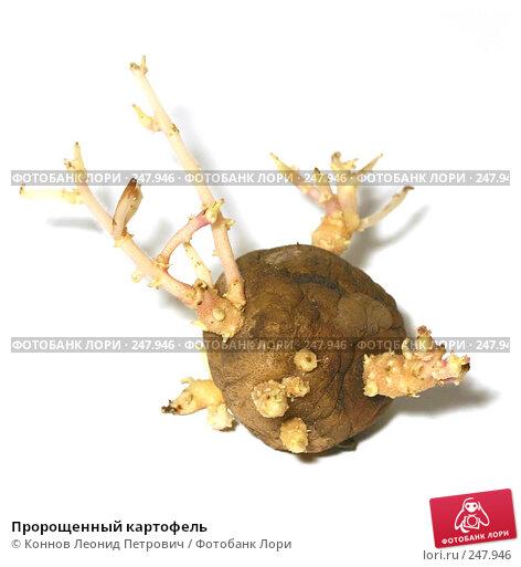 Пророщенный картофель, фото № 247946, снято 11 апреля 2008 г. (c) Коннов Леонид Петрович / Фотобанк Лори