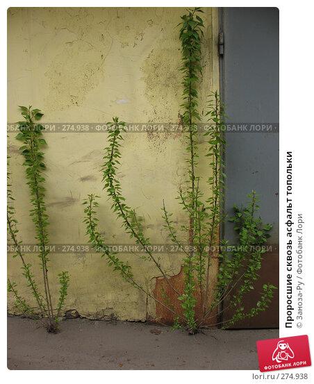 Проросшие сквозь асфальт топольки, фото № 274938, снято 1 мая 2008 г. (c) Заноза-Ру / Фотобанк Лори