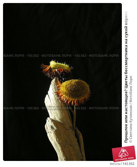 Прошлое или настоящее? Цветы бессмертника на сухой коряге, фото № 143562, снято 19 января 2017 г. (c) Светлана Кучинская / Фотобанк Лори