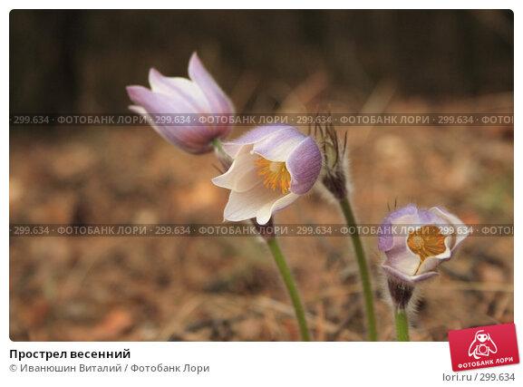 Купить «Прострел весенний», фото № 299634, снято 19 марта 2018 г. (c) Иванюшин Виталий / Фотобанк Лори