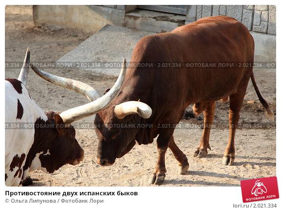 Купить «Противостояние двух испанских быков», фото № 2021334, снято 6 ноября 2009 г. (c) Ольга Липунова / Фотобанк Лори
