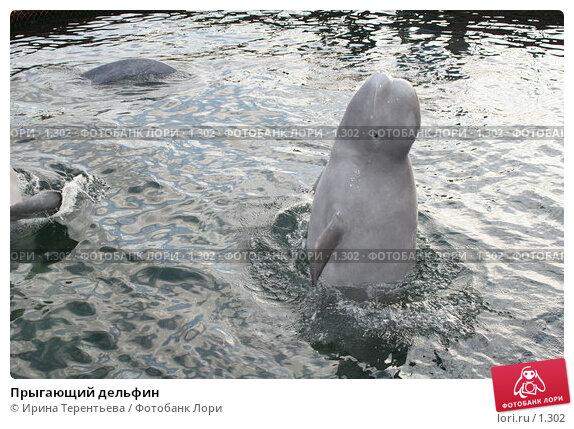 Прыгающий дельфин, эксклюзивное фото № 1302, снято 15 сентября 2005 г. (c) Ирина Терентьева / Фотобанк Лори