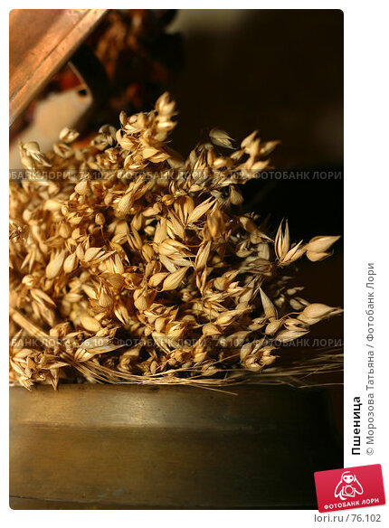 Купить «Пшеница», фото № 76102, снято 9 сентября 2006 г. (c) Морозова Татьяна / Фотобанк Лори