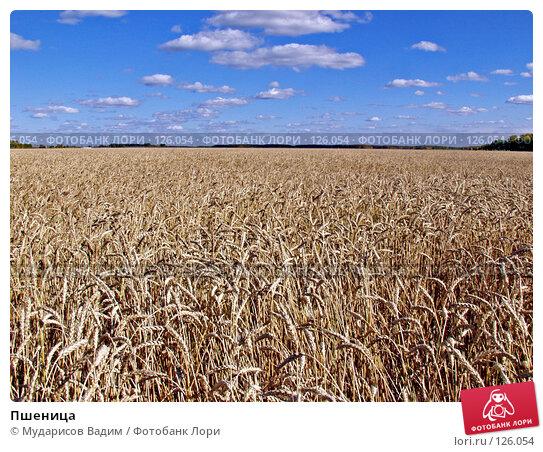 Пшеница, фото № 126054, снято 25 марта 2017 г. (c) Мударисов Вадим / Фотобанк Лори
