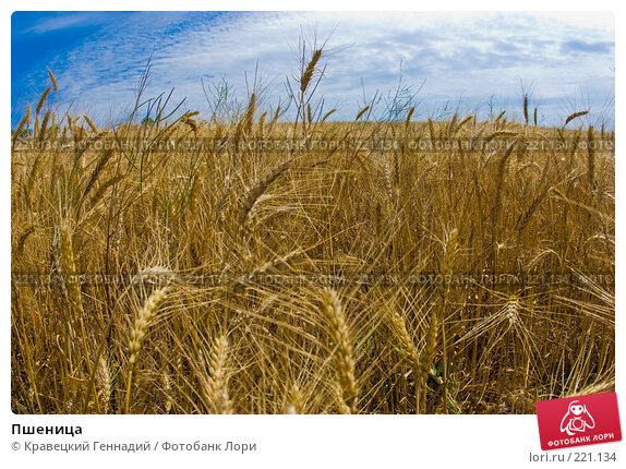 Пшеница, фото № 221134, снято 2 июля 2005 г. (c) Кравецкий Геннадий / Фотобанк Лори