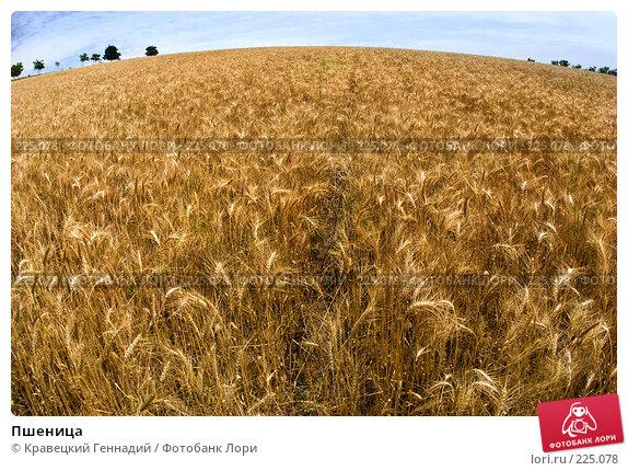 Пшеница, фото № 225078, снято 2 июля 2005 г. (c) Кравецкий Геннадий / Фотобанк Лори