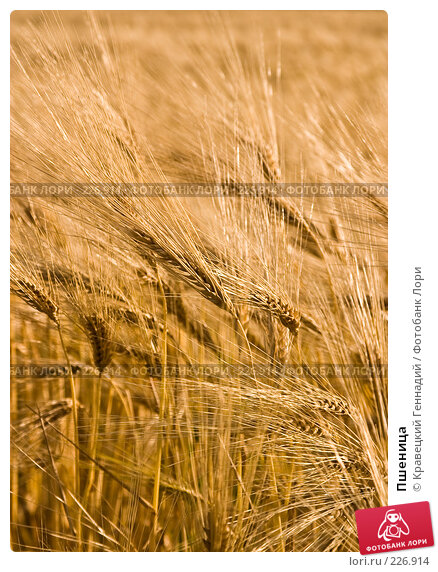 Пшеница, фото № 226914, снято 30 июня 2004 г. (c) Кравецкий Геннадий / Фотобанк Лори
