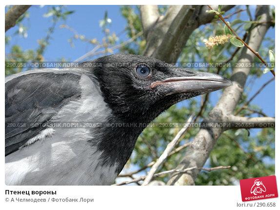 Птенец вороны, фото № 290658, снято 15 мая 2007 г. (c) A Челмодеев / Фотобанк Лори