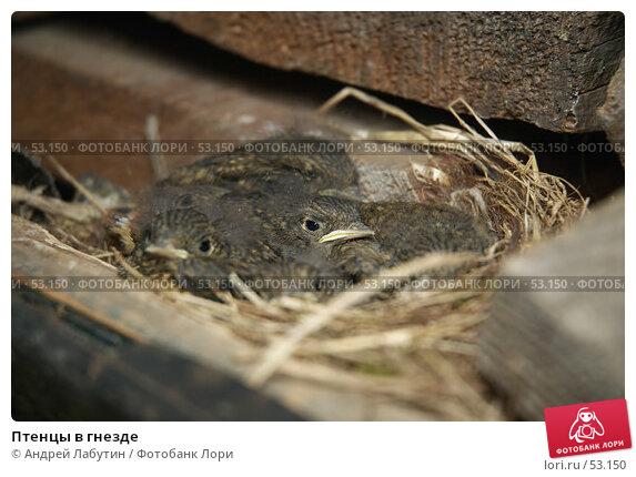 Птенцы в гнезде, фото № 53150, снято 16 июня 2007 г. (c) Андрей Лабутин / Фотобанк Лори