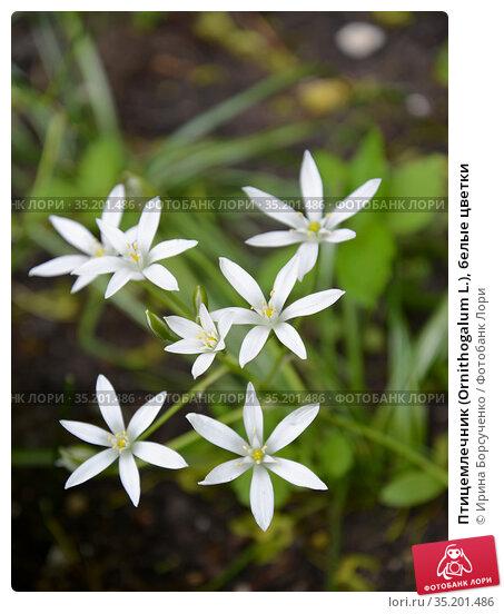 Птицемлечник (Ornithogalum L.), белые цветки. Стоковое фото, фотограф Ирина Борсученко / Фотобанк Лори