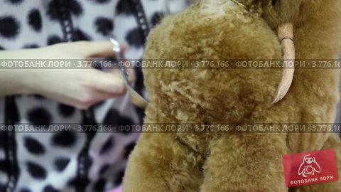 Купить «Пудель», видеоролик № 3776166, снято 16 февраля 2012 г. (c) Losevsky Pavel / Фотобанк Лори