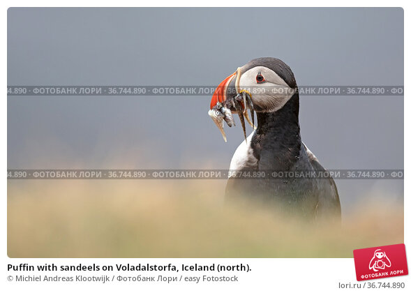Puffin with sandeels on Voladalstorfa, Iceland (north). Стоковое фото, фотограф Michiel Andreas Klootwijk / easy Fotostock / Фотобанк Лори