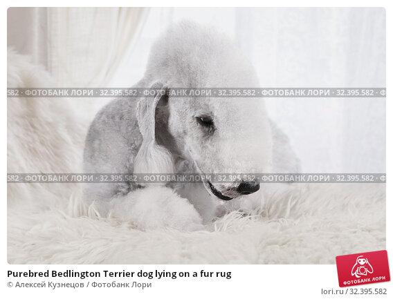 Купить «Purebred Bedlington Terrier dog lying on a fur rug», фото № 32395582, снято 5 ноября 2019 г. (c) Алексей Кузнецов / Фотобанк Лори