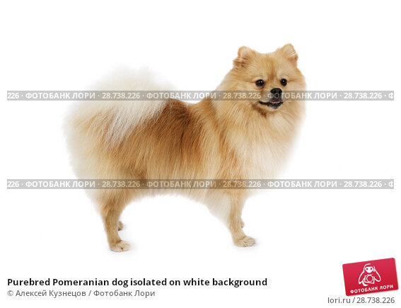 Купить «Purebred Pomeranian dog isolated on white background», фото № 28738226, снято 26 июня 2018 г. (c) Алексей Кузнецов / Фотобанк Лори