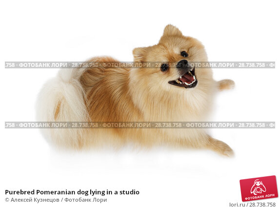Купить «Purebred Pomeranian dog lying in a studio», фото № 28738758, снято 26 июня 2018 г. (c) Алексей Кузнецов / Фотобанк Лори