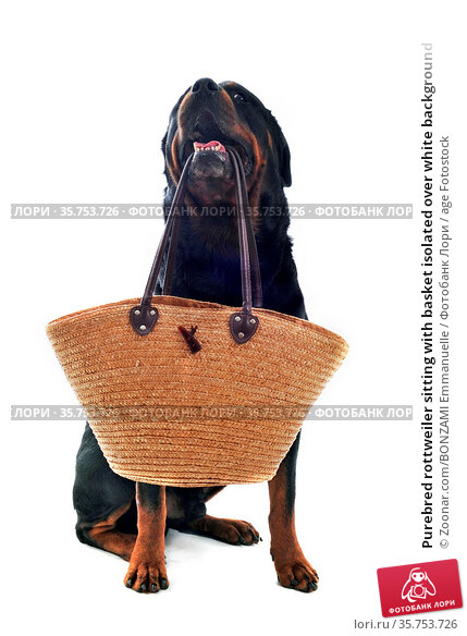 Purebred rottweiler sitting with basket isolated over white background. Стоковое фото, фотограф Zoonar.com/BONZAMI Emmanuelle / age Fotostock / Фотобанк Лори