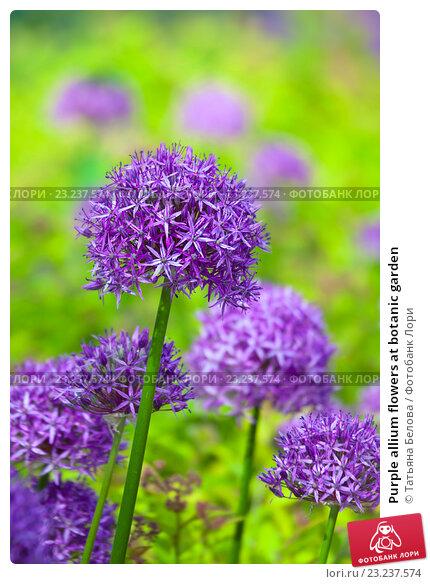 Купить «Purple allium flowers at botanic garden», фото № 23237574, снято 30 мая 2016 г. (c) Татьяна Белова / Фотобанк Лори