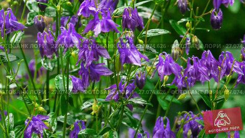 Купить «Purple aquilegia flowers», видеоролик № 27074626, снято 28 сентября 2017 г. (c) Игорь Жоров / Фотобанк Лори