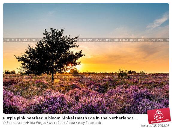 Purple pink heather in bloom Ginkel Heath Ede in the Netherlands.... Стоковое фото, фотограф Zoonar.com/Hilda Weges / easy Fotostock / Фотобанк Лори