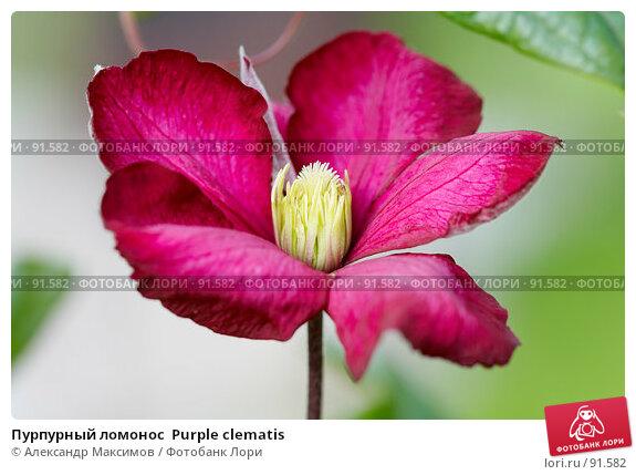 Купить «Пурпурный ломонос  Purple clematis», фото № 91582, снято 23 сентября 2006 г. (c) Александр Максимов / Фотобанк Лори