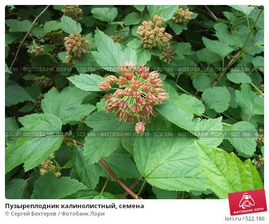 Купить «Пузыреплодник калинолистный, семена», фото № 522186, снято 3 июля 2004 г. (c) Сергей Бехтерев / Фотобанк Лори