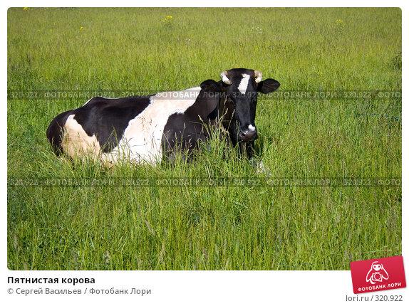 Пятнистая корова, фото № 320922, снято 13 июня 2008 г. (c) Сергей Васильев / Фотобанк Лори