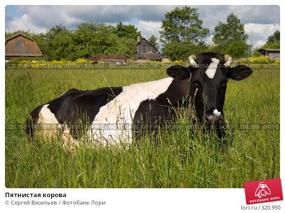 Пятнистая корова, фото № 320950, снято 13 июня 2008 г. (c) Сергей Васильев / Фотобанк Лори