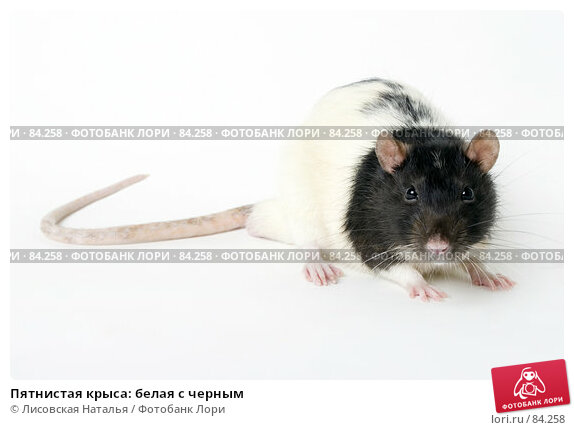 Пятнистая крыса: белая с черным, фото № 84258, снято 15 сентября 2007 г. (c) Лисовская Наталья / Фотобанк Лори
