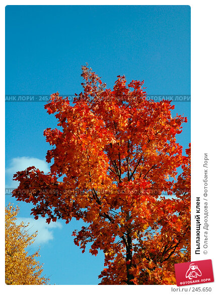 Пылающий клен, фото № 245650, снято 27 сентября 2005 г. (c) Ольга Дроздова / Фотобанк Лори