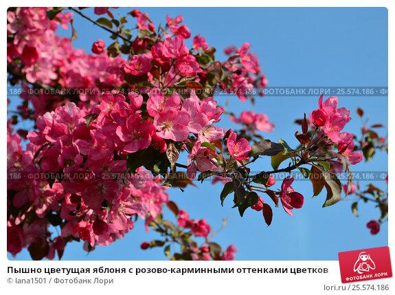 Купить «Пышно цветущая яблоня с розово-карминными оттенками цветков», эксклюзивное фото № 25574186, снято 21 мая 2015 г. (c) lana1501 / Фотобанк Лори