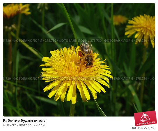 Рабочие будни пчелы, фото № 275730, снято 28 марта 2017 г. (c) severe / Фотобанк Лори