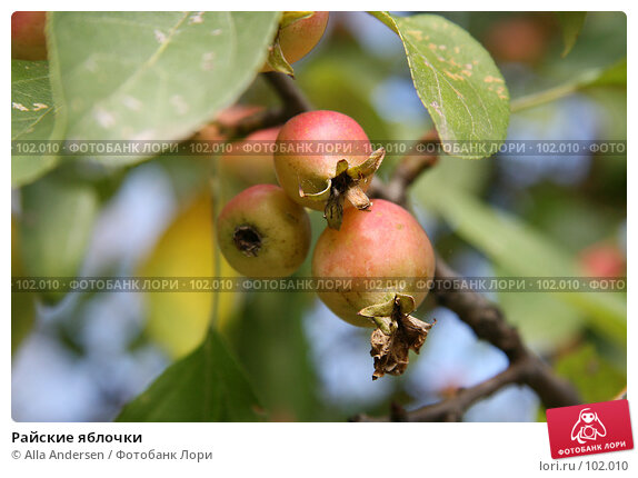 Райские яблочки, фото № 102010, снято 25 октября 2016 г. (c) Alla Andersen / Фотобанк Лори