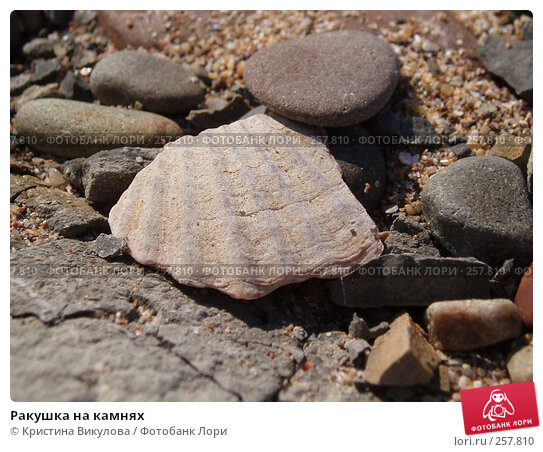 Ракушка на камнях, фото № 257810, снято 15 сентября 2006 г. (c) Кристина Викулова / Фотобанк Лори