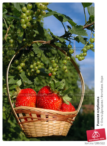 Ранняя клубника, фото № 289522, снято 29 июня 2005 г. (c) Ольга Дроздова / Фотобанк Лори